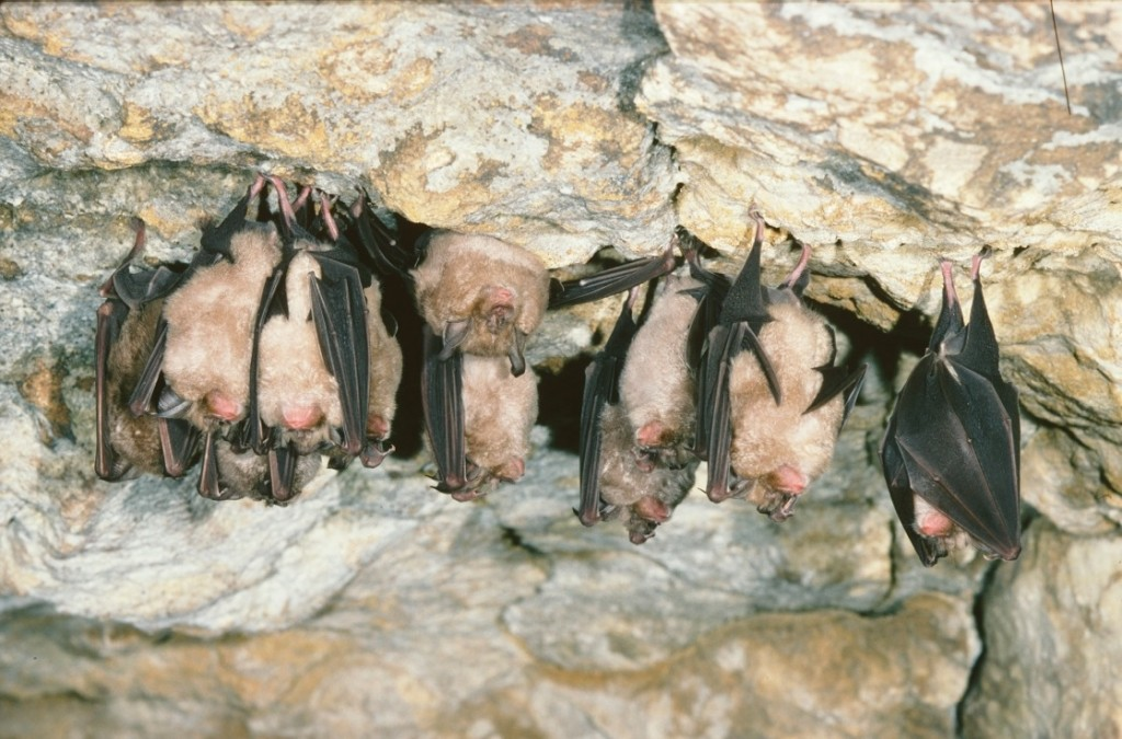 Greater Horseshoe Bats in Limestone Cave - credit Natural England - Michael Hammett copy