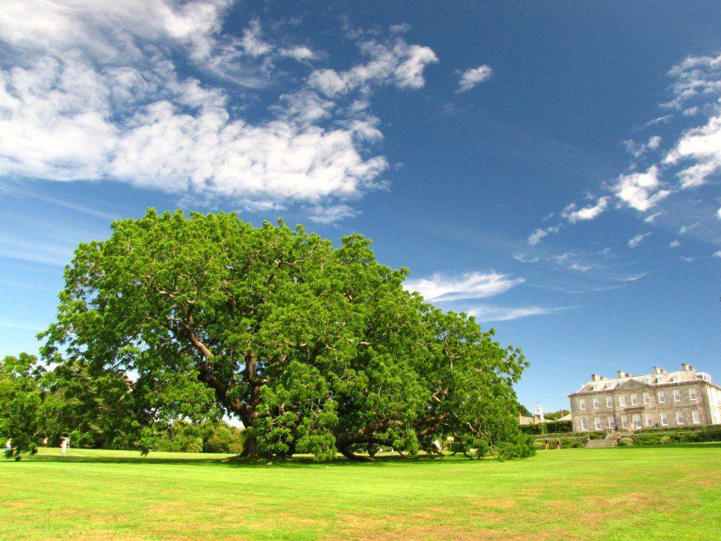Veteran Tree_Antony House low res