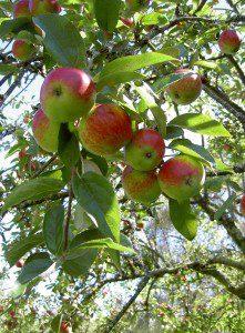 6 Mar apples