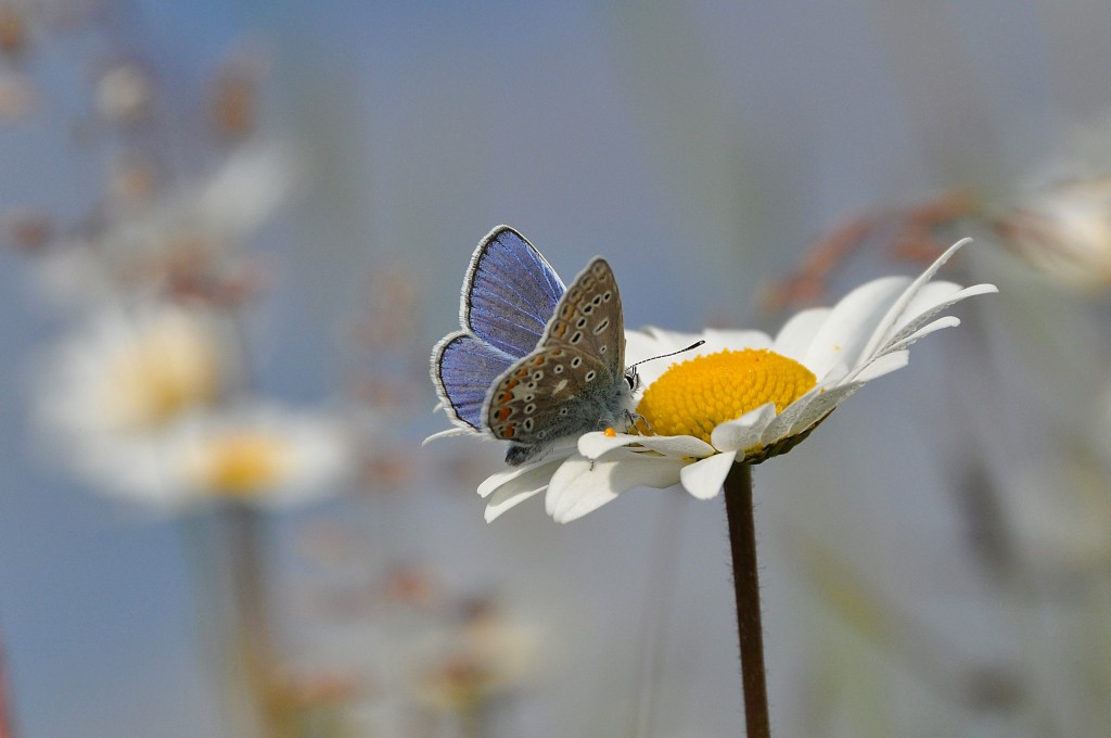 Common Blue_credit Tim Melling