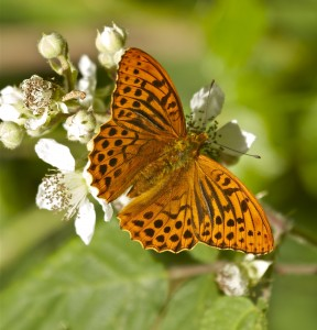 Silver-washed Fritillary_credit Tony Cox