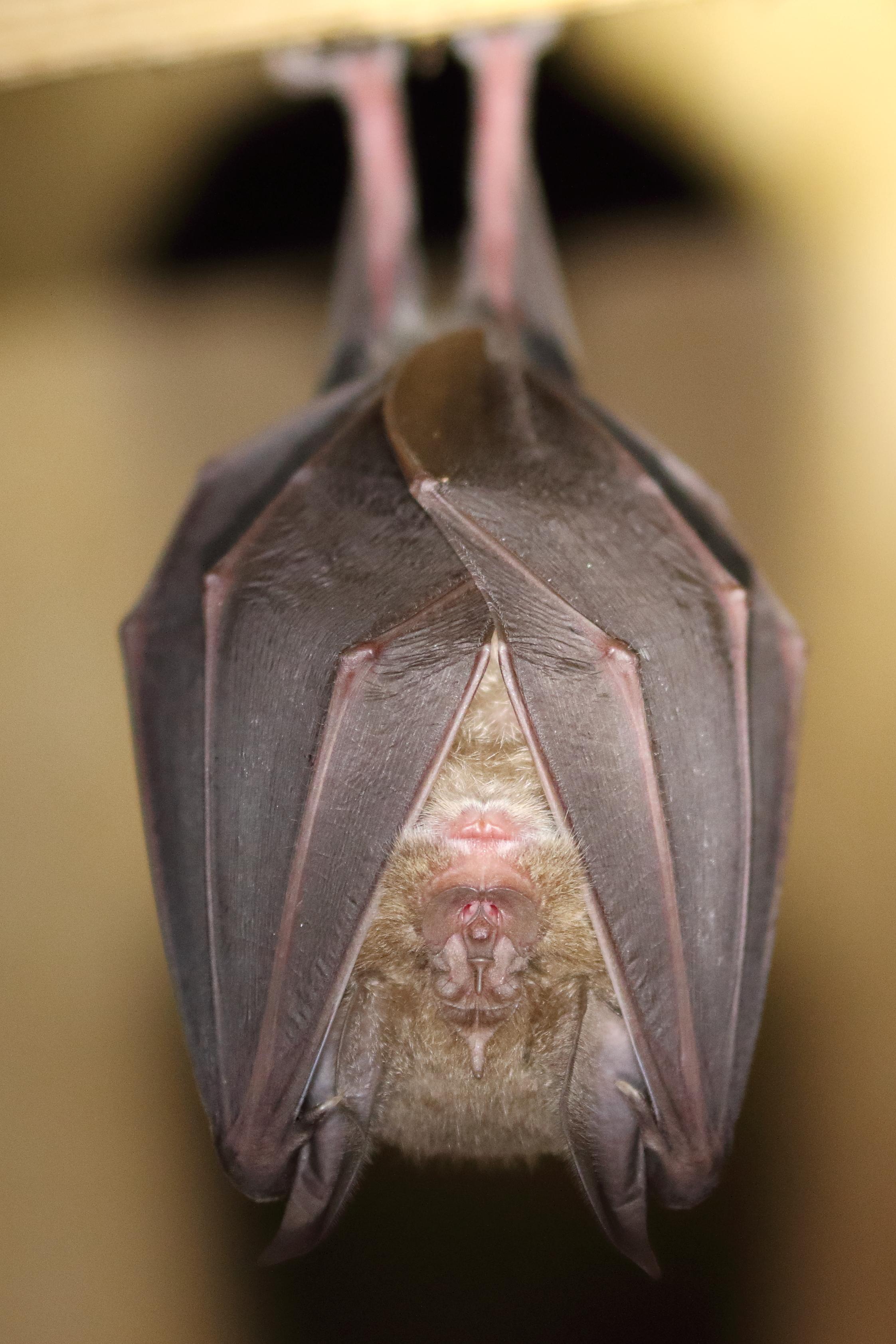 Greater Horseshoe Bat 1 (credit Mike Symes)