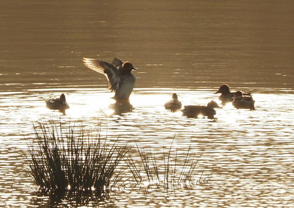 Teal on wetland pond, Calstock Wetlands