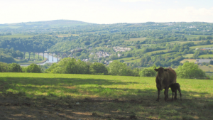 cow & river in Tamar Valley AONB, courtesy of Lesley Strong, Tamar Valley AONB